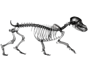 Hunde Skelett Animation